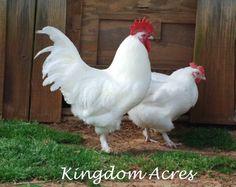 Chickens - White Marans
