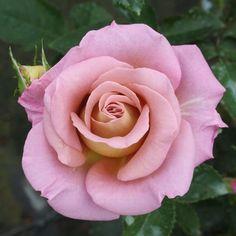 Michel Drucker (PANhurem) - Pink Apricot Hybrid Tea Rose - Strong fragrance - Bernard Panozzo (France), 2006.