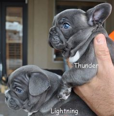The major breeds of bulldogs are English bulldog, American bulldog, and French bulldog. The bulldog has a broad shoulder which matches with the head. Blue Brindle French Bulldog, Cute French Bulldog, French Bulldogs, Blue Bulldog, American Bulldogs, Cute Puppies, Cute Dogs, Dogs And Puppies, Doggies