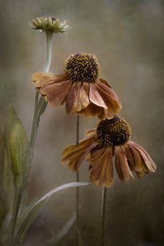 As summer fades to autumn, and leaves and petals fall, we see the beauty of the cycle of life in all it's majestic splendor with ever changing awe. Art Floral, Love Flowers, Beautiful Flowers, Brown Flowers, Belle Photo, Mother Nature, Flower Art, Flower Power, Bloom