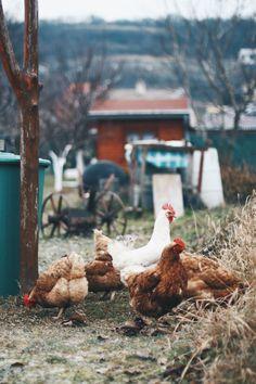 Neighborhood chickens