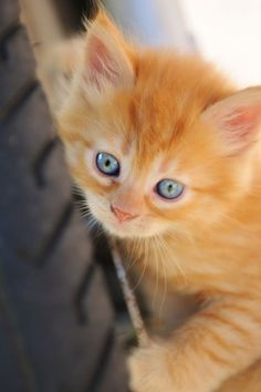 i've always wanted a little yellow or gray kitten.