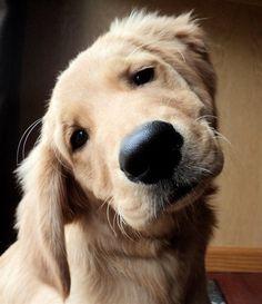 I love the head tilt. Priceless puppy shot. {Golden Retriever} {Dog} {Pet Photography}