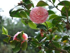 PlantFiles Pictures: Common Camellia, Japanese Camellia 'Pink Perfection' (Camellia japonica) by palmbob