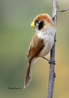 Spot-breasted Parrotbill   by somchai@2008 SYLVIIDAE