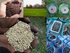 Validated and Potential Medicinal Rice Formulations for Hypertension and/with Diabetes mellitus Type 2 Complications (TH Group-268) from Pankaj Oudhia's Medicinal Plant Database