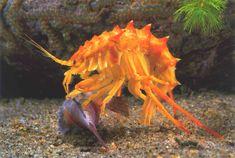 Image result for large gammarus shrimp lake baikal