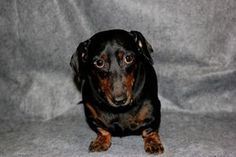 Bud is an adoptable Dachshund Dog in Jonesboro, GA. Bud and Beanie had a loving home and sadly their owner passed away.� No one in the family could take the dogs in, so they were surrendered to us.� B...