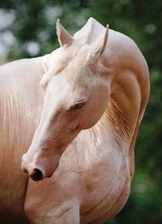 Beautiful Cremello horse