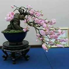 Beautiful cascading Bonsai, Keva xo.