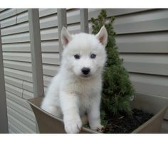 I want a white Siberian husky after I get through school and have my own house!
