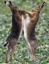 Involved in a pugilistic match, a pair of brown hares boxed at one another, and he chuckled at their antics.