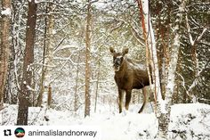 Mooooose! #reisetips #reiseblogger #reiseliv  #Repost @animalislandnorway with @repostapp  #Moose in our #neighbourhood if you're #lucky you'll see one while you're here  #elg #nordnorge #winter #arctic #arctictravel #travel #nature #naturephotography #natur #visitnorway #norway #norge #traveling #travelphotography #traveldiaries #travels #travelinspiration #forest #peace #serenity #explore