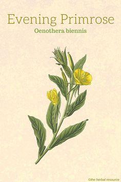 Evening Primrose Herb (Oenothera biennis)