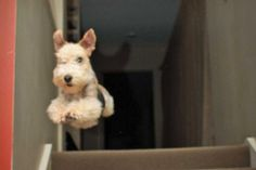 Milly is a two year old Lakeland Terrier. She knows she isn't allowed upstairs and makes a run for it when caught.