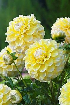 Awesome Flowers ~ Dreamy , Yellow and white Dhalias