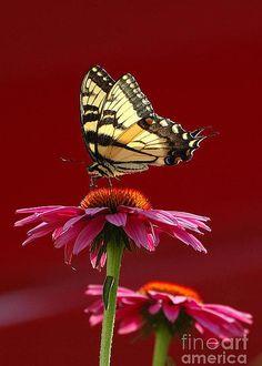 Butterfly by Edward Sobuta