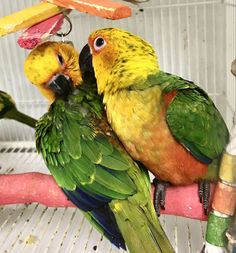 #jenday #conures preening after breakfast