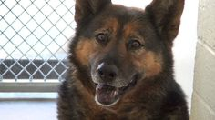 **FUREVER HOME, RESCUE OR FOSTER NEEDED!** Beautiful German shepherd watches for her family, yet they never appear