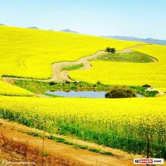 Canola fields        Overberg in Sept.
