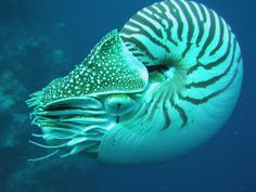 chambered nautilus, endangered species, marine species, living fossil species, marine life conservation, extinct species, environmental destruction, research fundraising campaign, marine biology, scientific research
