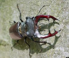 A stag beetle climbs up a trunk at the 'Hirschkaefer-Erlebniswelt' (stag beetle adventure world) in Graebendorf, eastern Germany, on May 23, 2012. The stag beetle, insect of the year 2012, is listed as a threatened species.