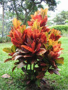 Cróton variegata | Viveiro Ipê