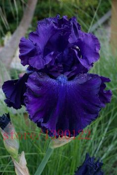 rare iris ,iris seeds,bonsai flower colours, Heirloom Iris Tectorum Perennial Flower Seeds, plant for home garden Iris Flowers, Colorful Flowers, Purple Flowers, Beautiful Flowers, Purple Iris, Small Flowers, Summer Flowers, Iris Garden, Blue Garden