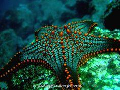 Cushion Sea Star, Isabela Island, Galapagos.  #starfish #nature  nature's most perfectly coloured christmas star!!!