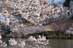 臥竜公園・桜開花状況 4/15(8分咲き)