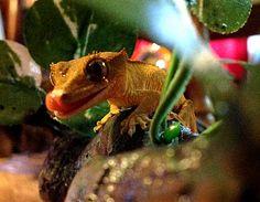 Eyelash Crested Gecko.