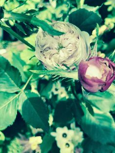 Rose, Mme. Alfred de Rougemont