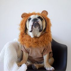 I'm the #King @yorkthebully have a #roaring #Sunday #lacyandpaws #frenchiebullys #lionking by lacyandpaws