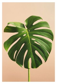 Stunning green Monstera leaf photographed by Alicia Bock. All fine art photographs are printed on Kodak Endura Professional photographic paper with a luster finish for a photograph with sharp details, and stunning colors that will last a lifetime. Tropical Art, Tropical Leaves, Plant Illustration, Botanical Illustration, Leaf Prints, Art Prints, Plant Art, Leaf Art, Aesthetic Wallpapers