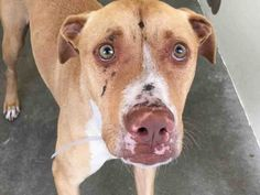 REED - A4968758 - located at L.A. COUNTY ANIMAL CARE CONTROL: CARSON SHELTER in Gardena, CA - Adult Neutered Male Pit Bull/Lab Retriever Mix
