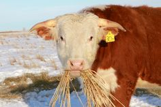 photo by Linda, Just Another Day on the Prairie Cow Pics, Cow Pictures, Hereford Cattle, Beef Cattle, Snow Days, Bull Riding, Farms Living, Farm Yard, New Theme