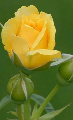 Beautiful Rose Flowers, Pretty Roses, Exotic Flowers, Morning Rose, Good Morning Flowers, Yellow Rose Flower, Yellow Flowers, Flower Images, Flower Pictures