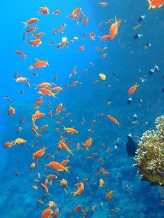 Scalefin Anthias at Yolanda Reef (Red Sea, Ras Mohammed National Park Egypt)