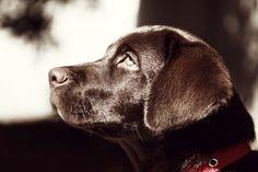 Brown Labrador Dog Face Profile