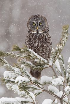 ~~Great Gray Owl in Snow by Axel Hildebrandt~~