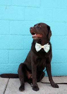 Chocolate Lab | DIY Dog Collar Bow Tie