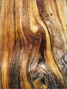 knotted dead pine tree trunk showing twisted wood grain