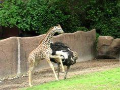 An ostrich and baby giraffe play - Jirafa juvenil y avestruz juegan como niños Cute Animal Videos, Cute Animal Pictures, Ostrich Bird, Baby Animals, Cute Animals, Camelus, Im Blue, Ostriches, Flightless Bird