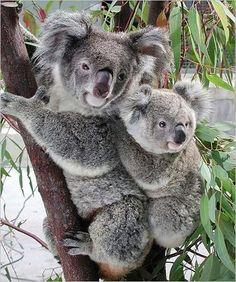 """Résultat de recherche d'images pour """"koala"""""""