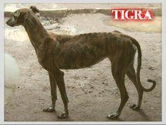 Tigra es una #galgo rescatada de #Mairena. Por fin ha encontrado un hogar que le haga olvidar su pasado. ¡A disfrutar!