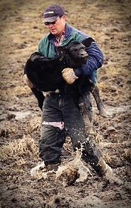 Rescuing a calf from the mud and muck of a pasture.