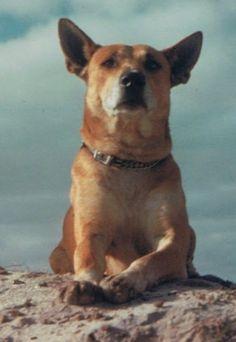 Dingo Lady: A Dingo Named Cornelius