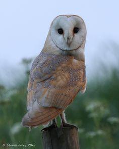 Barn Owl (Tyto alba) ~ (Explored) by British Birds 2009, via Flickr