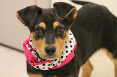 NAME: Kentucky  ANIMAL ID: 25105585  BREED: Shep mix  SEX: female-spayed  EST. AGE: 2 mos  Est Weight: 14 lbs  Health: Temperament: dog friendly, people friendly  ADDITIONAL INFO: RESCUE PULL FEE: $69 Intake date: 3/6  Available: Now