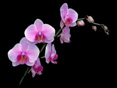 Orchid pentone, color of the year